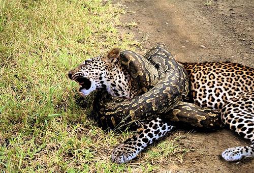 표범을 사냥한 구렁이