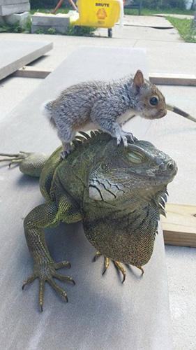 이구아나에 올라탄 다람쥐