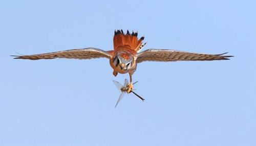 먹이감 낚아챈 독수리의 사냥실력