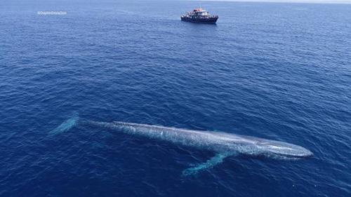 역대급 크기의 흰수염고래