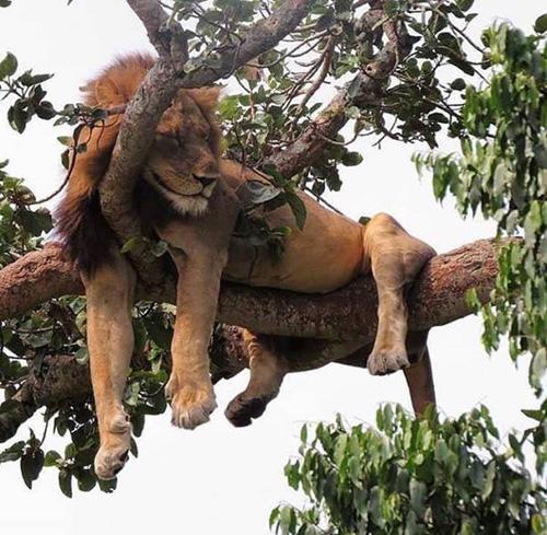 나무 위에서 잠든 사자