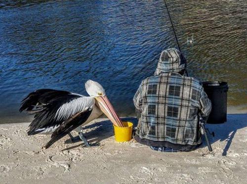 물고기를 훔치는 펠리컨