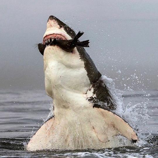 물 위에서 물개 사냥한 상어