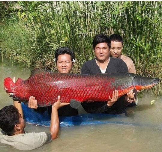 빨간 자태 뽐낸 대형 잉어
