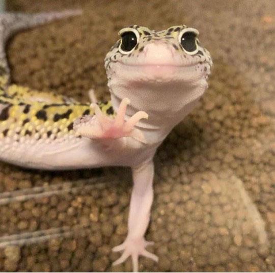 귀요미 폭발하는 도마뱀 눈망울