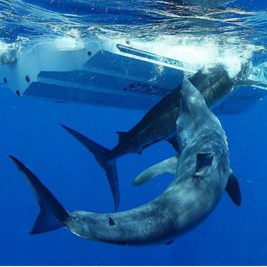 대어 가로 챈 식인상어