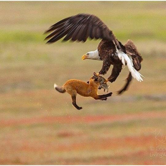 독수리 먹이 가로채려는 여우