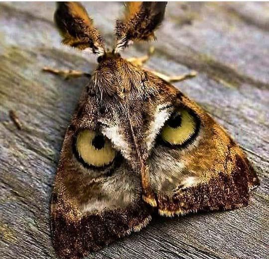 부엉이 얼굴 닮은 날개를 가진 나방