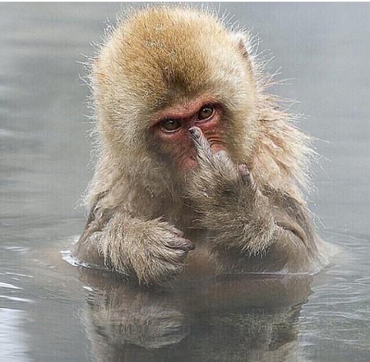 중지를 치켜 올린 원숭이