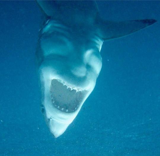 하회탈처럼 웃는 식인 상어