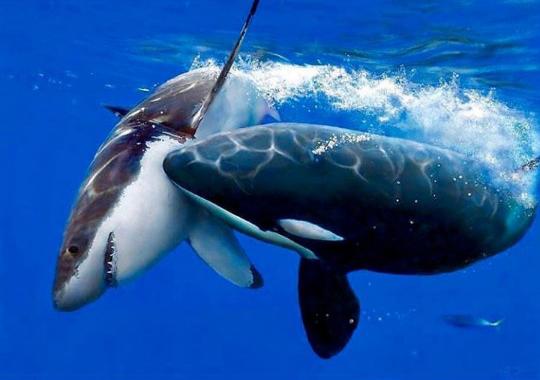 식인상어 사냥한 범고래