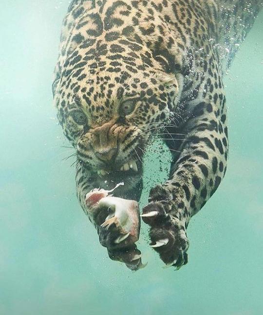 물 속으로 잠수할 줄 아는 표범