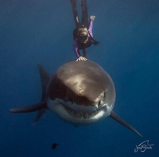 식인상어 등에 올라탄 잠수부