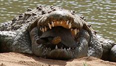 악어 입 속에 갇힌 거북이