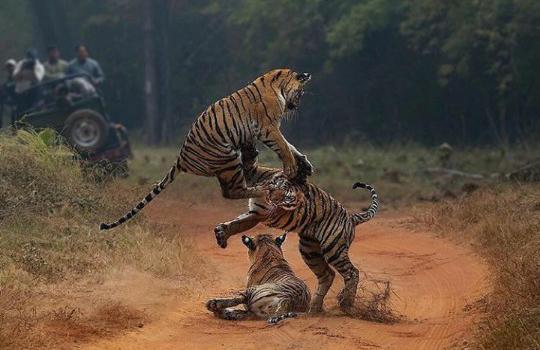 쿵후킥으로 싸우는 호랑이