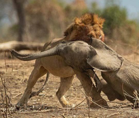 아기코끼리 사냥에 성공한 사자