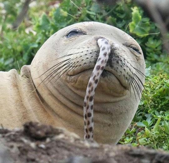 바다사자 코에 들어간 뱀