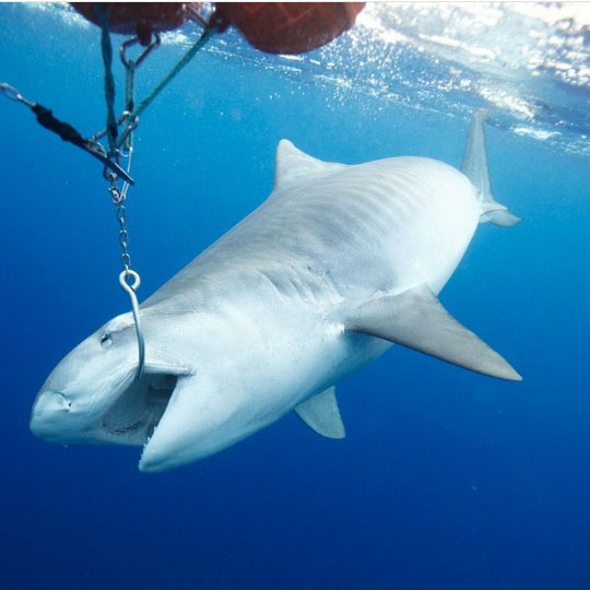 낚시 바늘에 걸린 괴물 상어