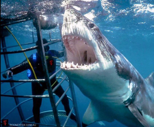 잠수부 삼키려는 식인 상어