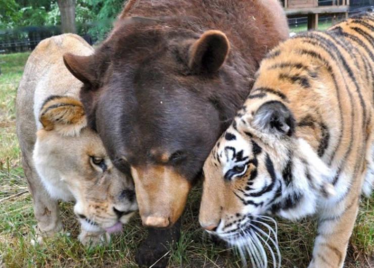 사자+호랑이와 다투는 곰
