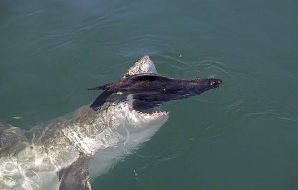 물개를 잡아먹는 상어