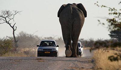 도로를 막아선 야생 코끼리