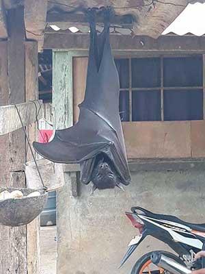 필리핀에서 발견된 괴물 박쥐