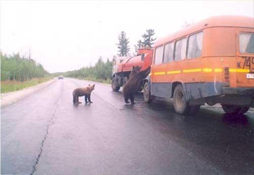 도로에 출몰한 야생곰