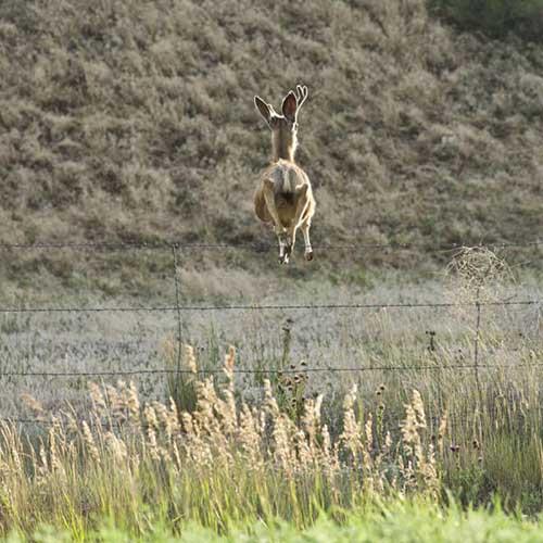 철조망을 뛰어넘는 사슴 점프력
