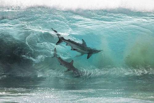파도를 가르는 상어