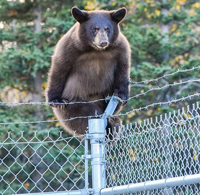 철조망을 넘는 야생곰