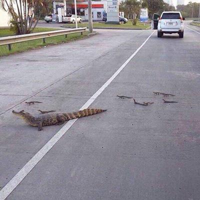 도로를 건너는 악어 가족