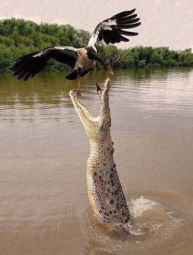 조류를 잡아먹는 '괴물' 악어