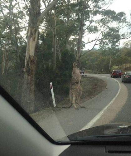 도로에 출몰한 야생 캥거루
