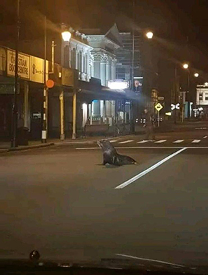 뉴질랜드 도로에 나타난 바다사자