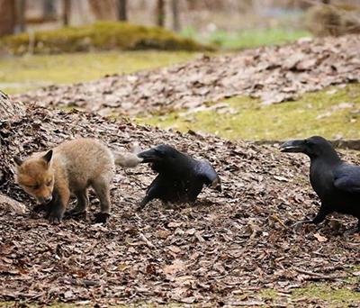 여우를 공격하는 까마귀