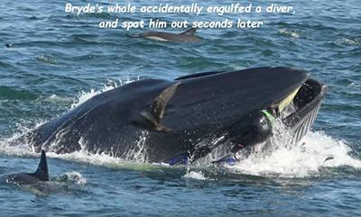 잠수부를 집어삼킨 초대형 고래