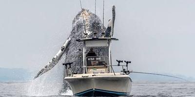 어선 앞에 출몰한 혹등고래