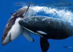 백상아리를 공격한 범고래