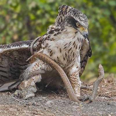 독사를 사냥한 독수리
