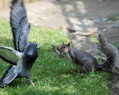 비둘기를 공격한 청설모