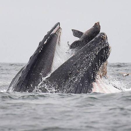 바다사자를 집어삼킨 야생 고래