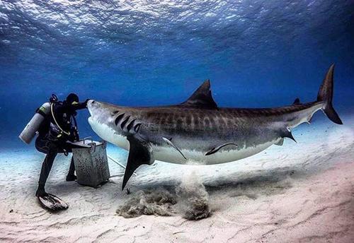 식인 상어를 막아선 잠수부