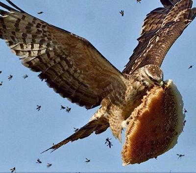 벌집을 공격한 독수리