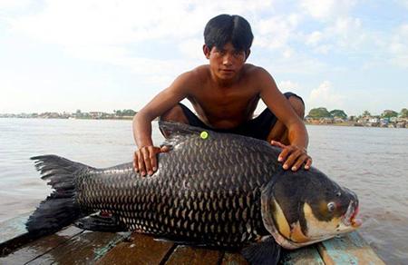 캄보디아에서 잡힌 괴물 어류