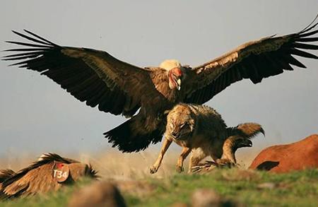 늑대를 공격하는 그리폰 독수리