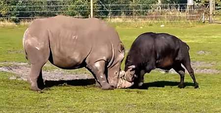 코뿔소와 버팔로의 결투