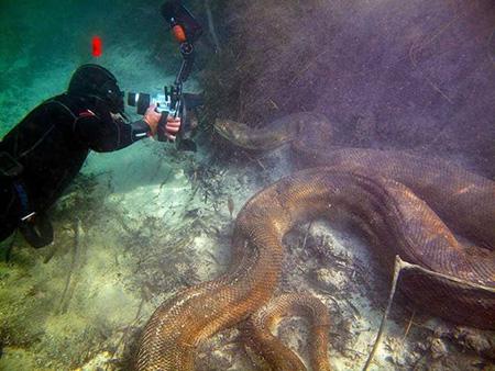 아마존에서 발견된 아나콘다 실물 크기