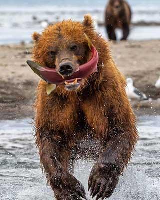 연어를 사냥한 초대형 곰