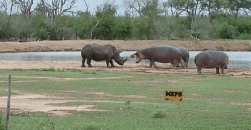 코뿔소와 하마의 자존심 대결